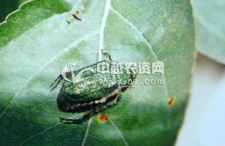 粗绿彩丽金龟