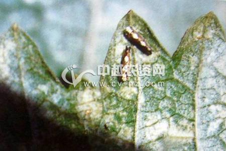 葡萄二黄斑叶蝉