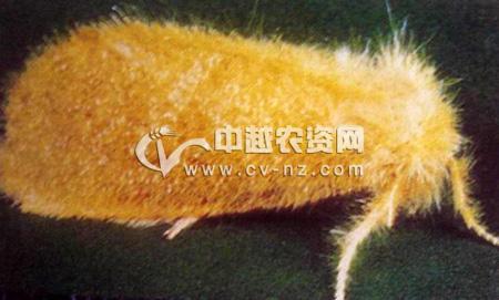 台湾黄毒蛾