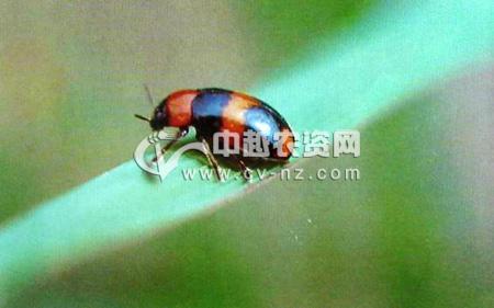 黑蛾光叶甲