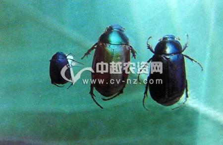 黑绒金龟、铜绿丽金龟、大黑鳃金龟