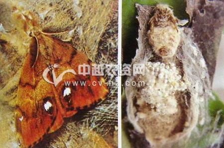 角斑古毒蛾