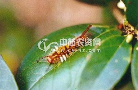 小白纹毒蛾