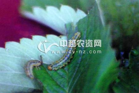 黄翅三节叶蜂