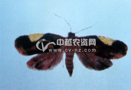 三角新小卷蛾