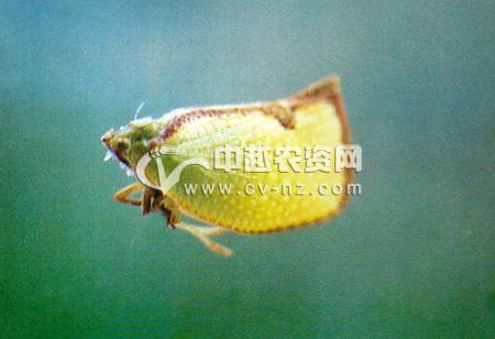 褐边蛾蜡蝉