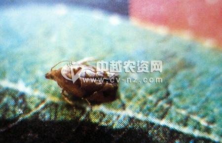 杨梅小卷蛾