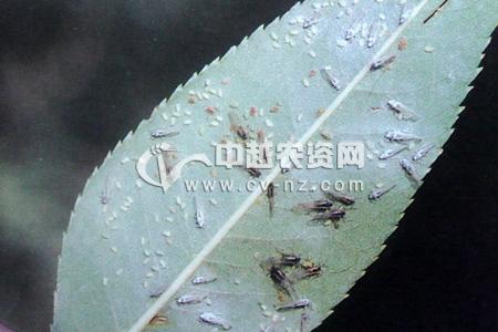 桃树有翅蚜