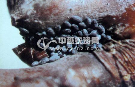 桃粉大尾蚜