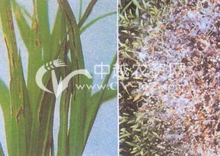 水稻稻苗疫病