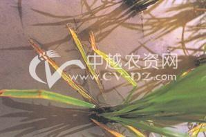 水稻细菌性基腐病