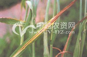 水稻细菌性褐斑病