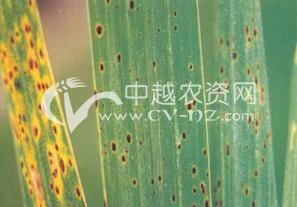水稻胡麻斑病