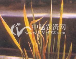 水稻东格鲁病毒病