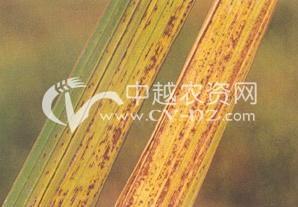 水稻叶黑肿病