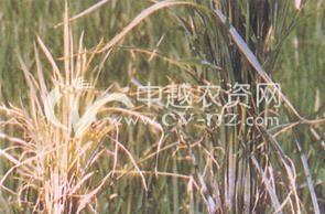 水稻黄萎病