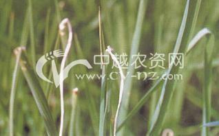 水稻干尖线虫病