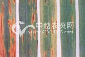 水稻窄条斑病