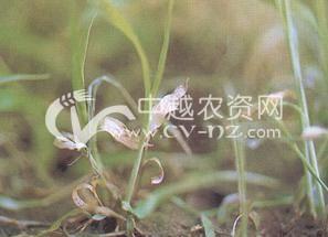 水稻低温冷害