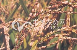 水稻谷枯病