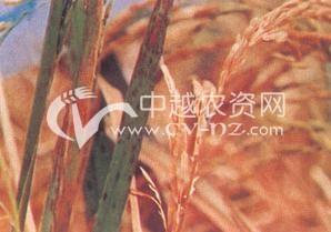 水稻营养障碍