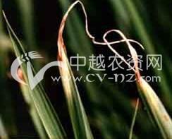 水稻青枯病