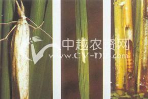 水稻二化螟