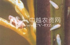 水稻电光叶蝉