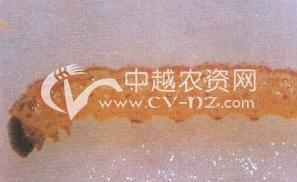 水稻台湾稻螟