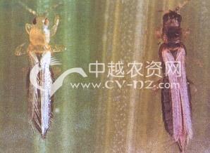 水稻禾蓟马