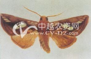 水稻稻金翅夜蛾