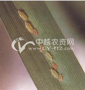 水稻田蚜虫
