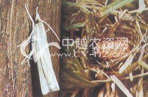 水稻稻巢螟