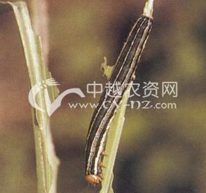 水稻稻田粘虫