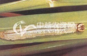 水稻直纹稻弄蝶