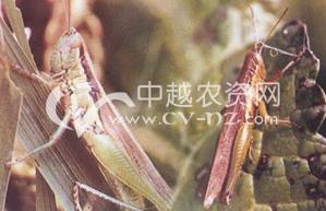 水稻中华稻蝗