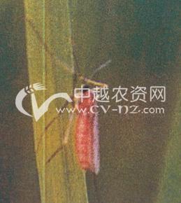 水稻稻瘿蚊