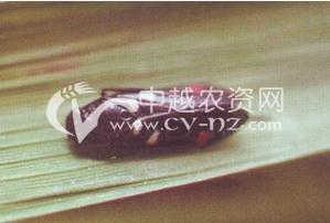 水稻稻赤斑沫蝉