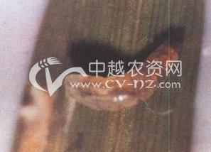 水稻稻潜叶蝇