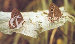 水稻稻眼蝶