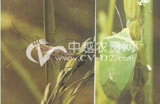 水稻稻绿蝽