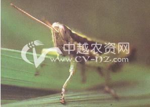 水稻山稻蝗