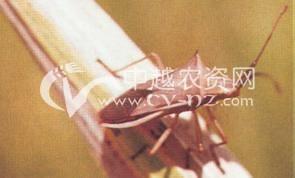 水稻稻棘缘蝽