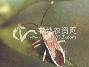 水稻长肩棘缘蝽和短肩棘缘蝽