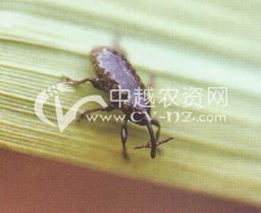 水稻稻象甲