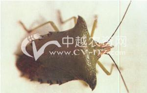 水稻大绿蝽