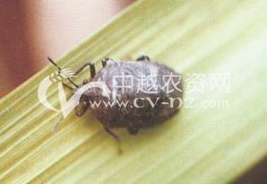 水稻稻黑蝽