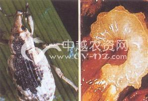 水稻稻水象甲