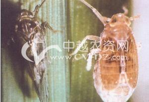 水稻褐飞虱