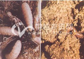 水稻鳃蚯蚓